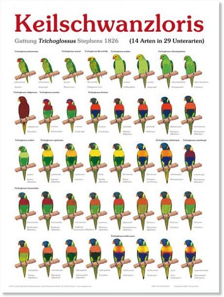 Poster Keilschwanzloris 800x600 XL-Format auf Hochglanzpapier