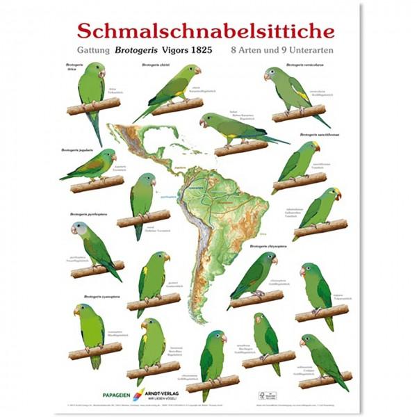 Poster Schmalschnabelsittiche 800 x 600mm