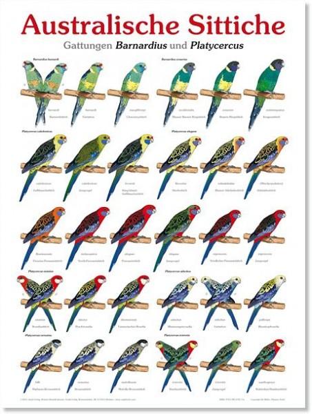 Poster Australische Sittiche 800x600 XL-Format auf Hochglanzpapier