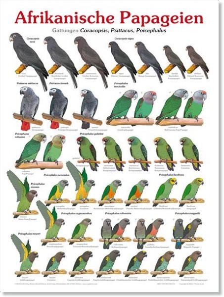 Poster Afrikanische Papageien 800x600 XL-Format auf Hochglanzpapier
