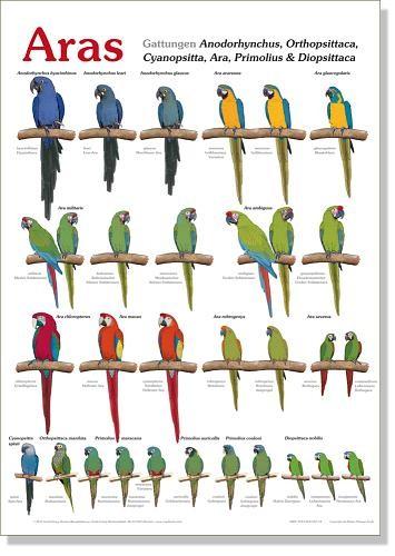 Poster Aras (Klassisches Artenposter) 800x600 XL-Format auf Hochglanzpapier